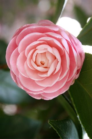 Camellia close-up